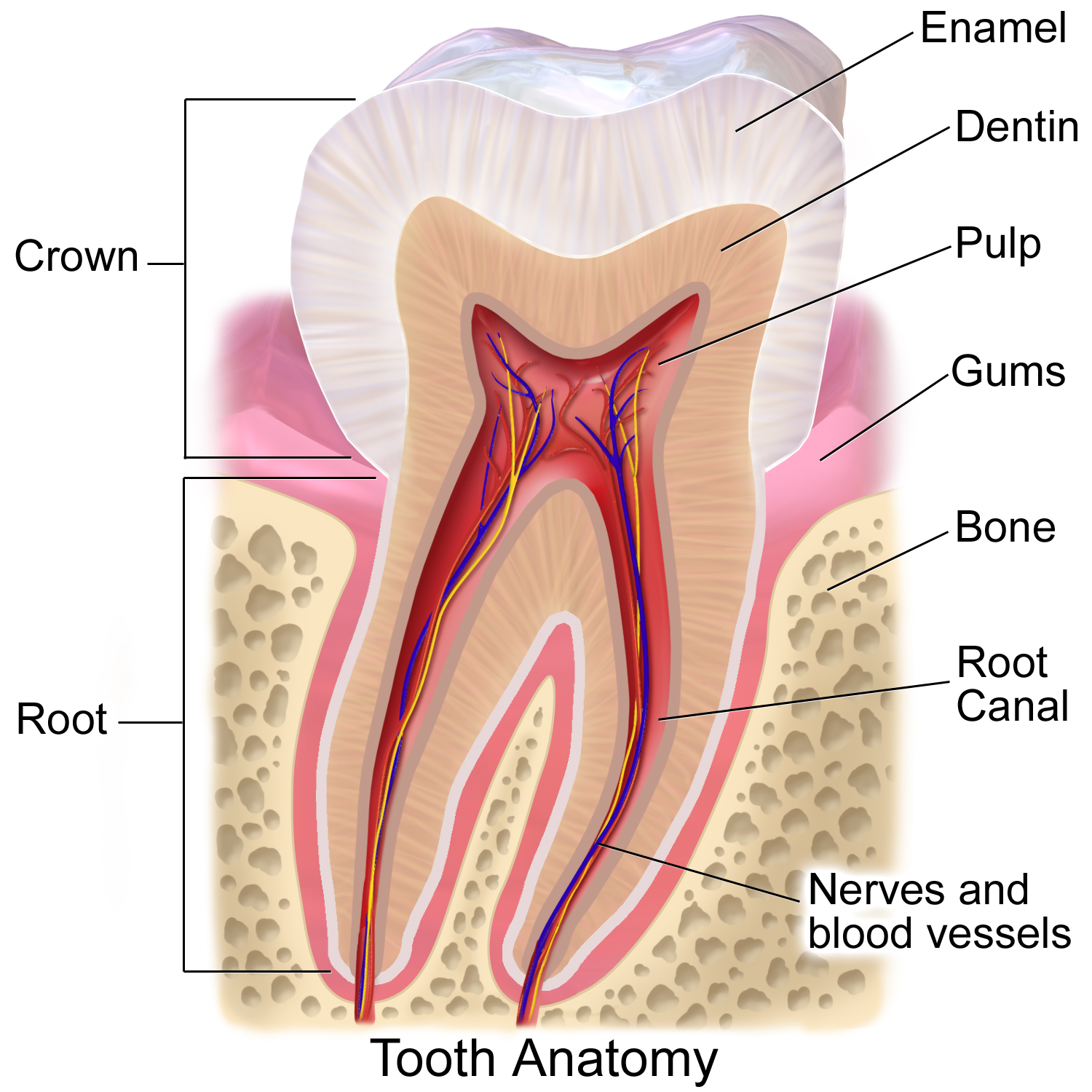 Anatomy of the Tooth | Dentist in Gainesville GA